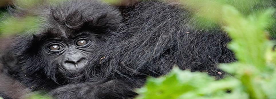 African Gorillas